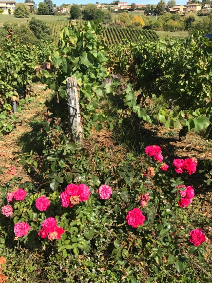 vine with roses