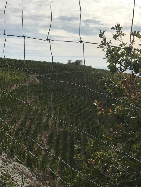 vines with wire